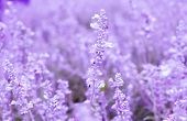 picture of blue-salvia  - Beautiful spring background of Salvia farinacea Benth, purple lavender flower.  ** Note: Shallow depth of field - JPG