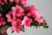 stock photo of bonsai  - Blooming bonsai azalea ona gray background - JPG
