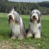 picture of collie  - Couple of amazing bearded collies sitting on the grass - JPG
