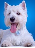 stock photo of westie  - closeup picture of a panting westie standing against blue background - JPG