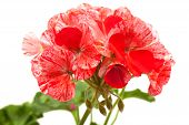 picture of geranium  - variegated pink and red geranium isolated on white - JPG