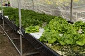 picture of butter-lettuce  - butter head cultivation hydroponics green vegetable in farm - JPG