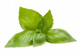 foto of basil leaves  - Sweet basil leaves isolated on white background - JPG