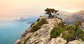 pic of crimea  - Pine on rock near Sudack Crimea Ukraine - JPG