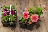 foto of petunia  - Two plastic flowerpots with pink and violet petunia seedlings on the aged wooden table.