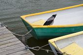 stock photo of caw  - Crow bird in fisherman rowboat tied at dock - JPG