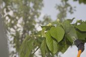 stock photo of pesticide  - Green cherries branches with immature fruit under the spray of pesticides - JPG