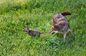 stock photo of chase  - Adult Coyote  - JPG
