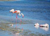 image of pink flamingos  - pink flamingos in Molentargius pond in Sardinia - JPG
