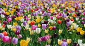 image of plant species  - Tulips field is a perennial - JPG