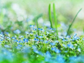 image of rare flowers  - Veronica polita or Grey Field - JPG
