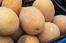 foto of cucurbitaceous  - Melon or Cucumis melo plant family Cucurbitaceae cucurbitaceous culture - JPG
