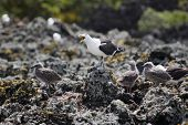 image of scoria  - shots of the blackback gull breeding colony on rangitoto island hauraki gulf new zealand - JPG