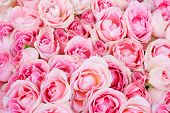 picture of pink rose  - big bunch of multiple pink roses from top - JPG