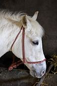stock photo of lipizzaner  - white lipizzaner horse with bridle in stable - JPG