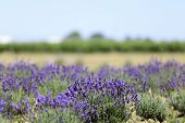 stock photo of lavender field  - Lavender flowers blooming in a field during summer - JPG