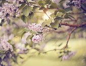 Branches With Flowers On Bushes Of The Blossoming Lilac In The Spring. poster