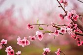 Almond Blossom Spring Background. Beautiful Pink Spring Tender Flowers Blossom. Pink Almonds Cherry  poster