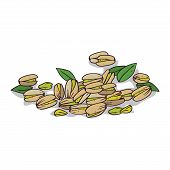 Isolated Clipart Of Plant Pistachio On White Background. Botanical Drawing Of Herb Pistacia Vera Wit poster