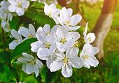 Spring Apple Flowers In Bloom Lit By Soft Sunlight - Spring Flower Background With Apple Tree Branch poster
