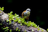 pic of babbler  - Lesser Scimitar Babbler a bird stand on branch - JPG