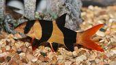 stock photo of loach  - Clown loach swimming in aquaria - JPG