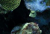 Lactophrys Triqueter Also Known As The Smooth Trunkfish, Is A Species Of Boxfish Found On And Near R poster