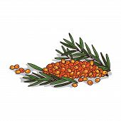 Isolated Clipart Of Plant Sea Buckthorn On White Background. Botanical Drawing Of Herb Hippophae Rha poster