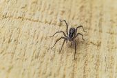 Постер, плакат: Fiddleback Spider Violin Spider Or Brown Hermit Spider loxosceles Reclusa Poisonous Arthropod On