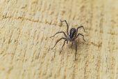 Постер, плакат: Fiddleback Spider Violin Spider Or Brown Hermit Spider loxosceles Reclusa Poisonous Arthropod On