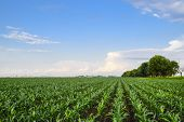 Young Green Corn On The Field. Corn Field In The Spring. Growing Stalks Of Corn poster