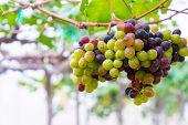 A Bunch Of Black Grapes For Making Wine In Thailand. Fresh Grapes That Have Not Yet Ripened. Green,  poster