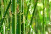 Green Bamboo With Forest Background. Bamboo Is Fastest-growing Plants And Have Rhizome-dependent Sys poster