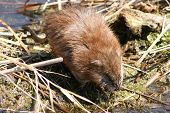 stock photo of muskrat  - A cautious Brown muskrat crossing a marsh - JPG