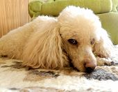 stock photo of poodle  - detail of young poodle in living room - JPG
