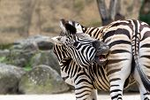 picture of rear-end  - A zebra biting his own rear end - JPG