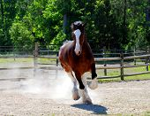 stock photo of clydesdale  - Large Clydesdale in playful mood galloping around ring.