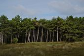 Tall Towering Pine Tree Forest Edge From A Distance poster