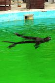 Black Fur Seal Swims In The Water At The Zoo. poster