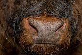 Wet, Dirty And Hairy Highland Cattle Nose poster