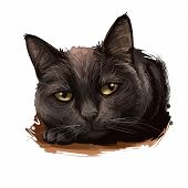 Bombay Cat Isolated On White Background. Digital Art Illustration Of Hand Drawn Kitty For Web. Calm  poster