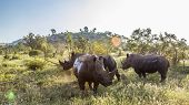 Three Southern White Rhinoceros In Green Savannah In Kruger National Park, South Africa ; Specie Cer poster