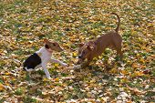 Little Estonian Hound Puppy And American Staffordshire Terrier Puppy Are Playing In The Autumn Park. poster