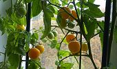 Ripe Yellow Indoor Tomatoes Hang On A Vine Of A Tomato Bush On The Window. Tomatoes Are On The Backg poster