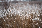 Brown-yellow Dry Grass Covered With White Snow Close-up. Natural Background. Autumn Or Winter Textur poster