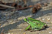 Green Frog On Sandy Ground Near The Water, Copy Space poster