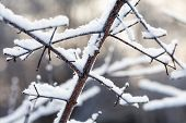 Snow Covered Tree Branches. Winter Park Cold Cold Weather Scene. Shallow Depth Of Field poster