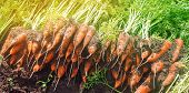 Harvesting Carrot On The Field. Growing Organic Vegetables. Seasonal Job. Farming. Agro-industry. Ag poster