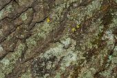 Tree Bark With Moss Close Up. Old Wood Tree Bark Texture With Moss. Soft Selective Focus. poster