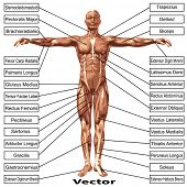 pic of male body anatomy  - 3D vector male or human anatomy - JPG